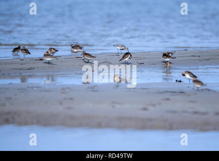 05 September 2018, Mecklenburg-Western Pomerania, Malchow (poel): Alpine beach runners stand on the sandy beach of Langenwerder Island. Ornithologists count and ring thousands of migratory birds every autumn on the 21-hectare island off the Baltic island of Poel. The island in Wismar Bay, which has been a nature reserve since 1937, is Mecklenburg's oldest seabird sanctuary. From spring to mid-November, the barren island is inhabited by volunteers. Photo: Jens Büttner/dpa-Zentralbild/ZB - Stock Photo