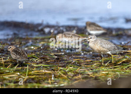 05 September 2018, Mecklenburg-Western Pomerania, Malchow (poel): Alpine beach runners stand on the shore of the island of Langenwerder. Ornithologists count and ring thousands of migratory birds every autumn on the 21-hectare island off the Baltic island of Poel. The island in Wismar Bay, which has been a nature reserve since 1937, is Mecklenburg's oldest seabird sanctuary. From spring to mid-November, the barren island is inhabited by volunteers. Photo: Jens Büttner/dpa-Zentralbild/ZB - Stock Photo