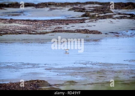 05 September 2018, Mecklenburg-Western Pomerania, Malchow (poel): A young sandpiper stands in the shallow water of the bird sanctuary Langenwerder. Ornithologists count and ring thousands of migratory birds every autumn on the 21-hectare island off the Baltic island of Poel. The island in Wismar Bay, which has been a nature reserve since 1937, is Mecklenburg's oldest seabird sanctuary. From spring to mid-November, the barren island is inhabited by volunteers. Photo: Jens Büttner/dpa-Zentralbild/ZB - Stock Photo