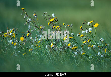 05 September 2018, Mecklenburg-Western Pomerania, Malchow (poel): Flowers glow on a meadow on the island of Langenwerder. Ornithologists count and ring thousands of migratory birds every autumn on the 21-hectare island off the Baltic island of Poel. The island in Wismar Bay, which has been a nature reserve since 1937, is Mecklenburg's oldest seabird sanctuary. From spring to mid-November, the barren island is inhabited by volunteers. Photo: Jens Büttner/dpa-Zentralbild/ZB - Stock Photo