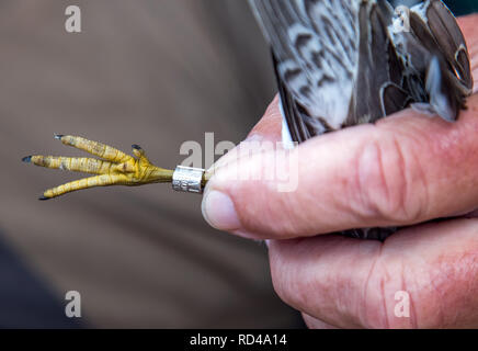 05 September 2018, Mecklenburg-Western Pomerania, Malchow (poel): A Knuttstrandläufer is measured and ringed by Horst Zimmermann on the bird protection island Langenwerder. Ornithologists count and ring thousands of migratory birds every autumn on the 21-hectare island off the Baltic island of Poel. The island in Wismar Bay, which has been a nature reserve since 1937, is Mecklenburg's oldest seabird sanctuary. From spring to mid-November, the barren island is inhabited by volunteers. Photo: Jens Büttner/dpa-Zentralbild/ZB - Stock Photo