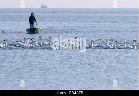05 September 2018, Mecklenburg-Western Pomerania, Malchow (poel): Swans swim in front of the shore of the bird sanctuary island Langenwerder in Wismar Bay. Ornithologists count and ring thousands of migratory birds every autumn on the 21-hectare island off the Baltic island of Poel. The island in Wismar Bay, which has been a nature reserve since 1937, is Mecklenburg's oldest seabird sanctuary. From spring to mid-November, the barren island is inhabited by volunteers. Photo: Jens Büttner/dpa-Zentralbild/ZB - Stock Photo