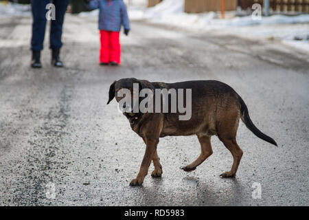 Obese crossbred dog out for a walk on a winter day - Stock Photo