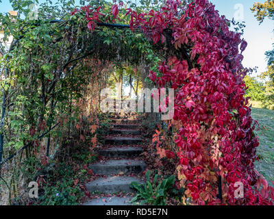 Passage covered by Golden rain, Laburnum anagyroides, dried in autumn (left), pink leaves, garden 'Heilpflanzengarten', Celle, Germany - Stock Photo