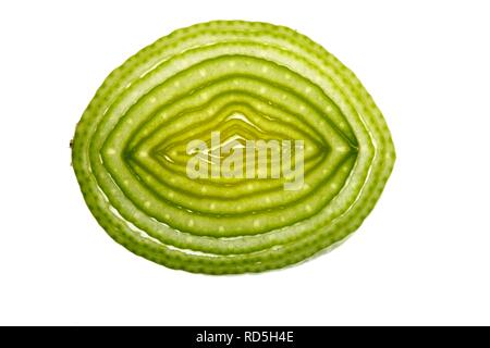 Leek (Allium ampeloprasum), cross section - Stock Photo