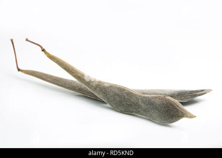 Dry wisteria pods containing the seeds taken from a wisteria plant in north west England UK GB. Photographed on a white background - Stock Photo