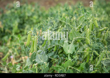 Selective focus on fresh bright green pea pods on pea plants in the garden. Growing peas outdoors - Stock Photo
