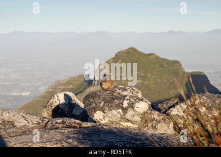 Rock Hyrax posing in front of Devil's Peak on the top of Table Mountain in Cape Town, South Africa - Stock Photo