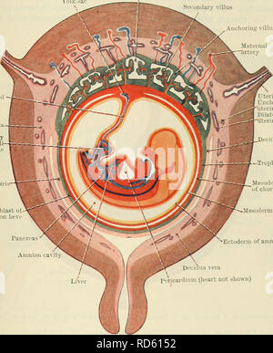 . Cunningham's Text-book of anatomy. Anatomy. THE PLACENTA. 59 by a layer of cellular trophoblast, Langhan's layer, which lies next the mesoderm, and a layer of Plasmodium external to the cellular layer. The proximal end of .each villus is continuous with the chorion plate of the intervillous spaces, formed by the chorion, and the distal extremity is connected by the plasmodial basal layer of the trophoblast, which forms the outer boundary of the intervillous spaces and which is fused with the maternal decidual tissue. After a time branches are projected from the sides of the secondary villi i - Stock Photo
