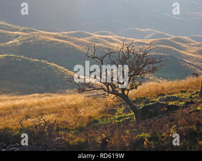 Lone wild windswept Hawthorn tree stands stark against backlit bumpy hillocks outlined by low evening sun in the hills of Cumbria, England, UK - Stock Photo
