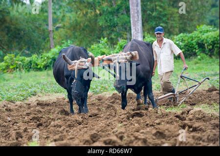 Farmer ploughing field with two oxen, Baracoa, Guantanamo province, Cuba - Stock Photo