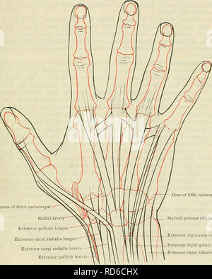 . Cunningham's Text-book of anatomy. Anatomy. THE FOKEAKM AND HAND. 145; At the dorsum of the forearm the intermuscular septum between the radial and common extensors corresponds to the proximal part of a line extending from the lateral epicondyle of the humerus to the tubercle on the dorsum of the distal end of the radius. The dorsal interosseous nerve, at the point at which it emerges from the substance of the supinator muscle, will be found at the bottom of this septum, 2 in. distal to the head of the radius; below this point the septum is the best line along which to cut down upon the post - Stock Photo