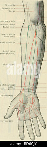 . Cunningham's Text-book of anatomy. Anatomy. THE FOKEAKM AND HAND. 1451 Brachials Cephalic vein Biceps Median cephalic vein Tendon of biceps Radial nerve Brachial artery Basilic vein Brachialis Median basilic vein Lacertus fibrosus Radial nerve (superficial ramus) of Lister's dorso-radial incision for excision of the wrist. The dorsal border of the ulna is subcutaneous throughout, and may be felt along the interval between the flexor and extensor carpi ulnaris muscles. Upon the ulnar side of the dorsal aspect of the wrist, when the forearm is in the prone position, there is a well-marked roun - Stock Photo