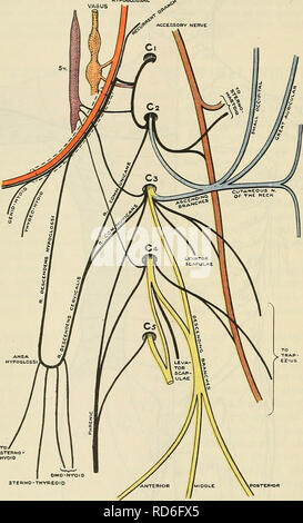 . Cunningham's Text-book of anatomy. Anatomy. 694 THE NERVOUS SYSTEM. through the brachial plexus, supply the upper limb. The second thoracic nerve may contribute a trunk to this plexus, and always assists in the innervation of the arm. PLEXUS CERVICALTS. The anterior rami of the first four cervical nerves are concerned in forming the cervical plexus. Each nerve emerges from the vertebral canal posterior to the HYPOGLOSSAL. POSTER toft SUPRA-CLAVICULAR NERVES Fig. 610.—The Cervical Plexus. vertebral artery. Each is joined on its emergence from the intervertebral foramen, at the side of the ver - Stock Photo