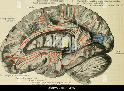 . Cunningham's Text-book of anatomy. Anatomy. 650 THE NEEVOUS SYSTEM. the hinpocanipal gyrus, to the uncus and the temporal pole. The cinguluni is composed of several systems of fibres which run only for short distances within it. The fasciculus longitudinalis superior is an arcuate bundle which is placed on the lateral aspect of the foot or basal part of the corona radiata and connects the frontal, occipital, and temporal regions of the hemisphere. It lies in the base of the superior operculum and sweeps backwards over the insular region to the posterior end of the lateral cerebral fissure. H - Stock Photo
