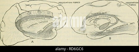 . Cunningham's Text-book of anatomy. Anatomy. Caudate nucleus asciculus occipito- frontalis [superior] Internal capsule Putamen Fasciculus longi- tudinals superior __ Globus / pallidus I— Claustrum Superior operculum Insula Fasciculus occipito- frontalis [inferior] Temporal operculum Anterior commissure Fasciculus uncinatus Fig. 576.—Two Frontal Sections through the Cerebral Hemispheres of an Orang, in the Plane of the Anterior Commissure. A, Section through the left hemisphere in a plane a short distance behind B, which is a section through the right hemisphere. The positions of the great lon - Stock Photo