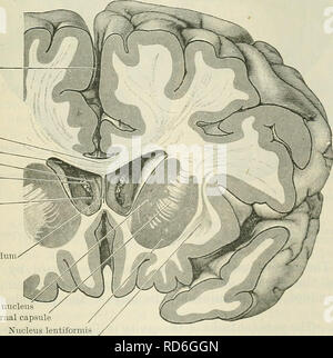. Cunningham's Text-book of anatomy. Anatomy. Longitudinal fissure Corpus callosum Lateral ventricle Column of fornix Chorioid plexus Foramen inter- ventrieulare Septum pellucidum. Caudate nucleus Internal capsule Nucleus lentiformis Claustrum Fig. 562.—Frontal Section through the Cerebbal Hemispheres so as to cut through the anterior horns of the lateral ventricles, through which the central part of the ventricles, the columns of the fornix, and the interventricular foramina can be seen. ticulum gated which or elon- pouch, grows. Please note that these images are extracted from scanned page i - Stock Photo