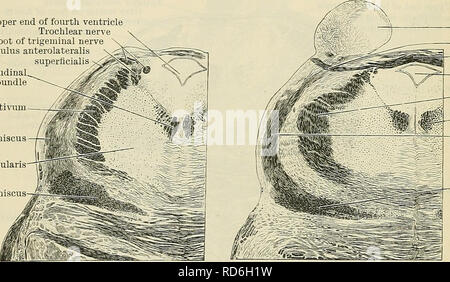 . Cunningham's Text-book of anatomy. Anatomy. 570 THE NEEVOUS SYSTEM. matter of the floor of the ventricle, is the collection of pigmented cells which con- stitutes the substantia ferruginea. The medial longitudinal bundle, as it is traced upwards through the tegmental part of the pons, maintains the same position throughout, and as it ascends it becomes more clearly mapped out as a definite and distinct tract. It lies close to the median raphe, and immediately subjacent to the gray matter of the floor of the fourth ventricle. The lemniscus medialis, as it ascends through the tegmental part of - Stock Photo