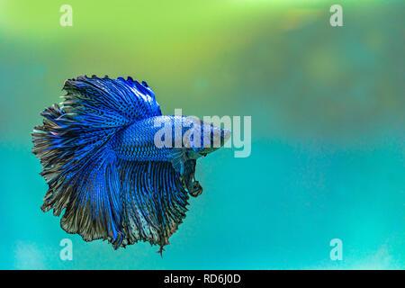 Blue siamese fighting fish,Halfmoon betta fish in aquarium. - Stock Photo