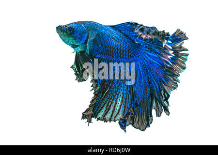 Blue siamese fighting fish,Halfmoon betta fish isolated on white background. - Stock Photo