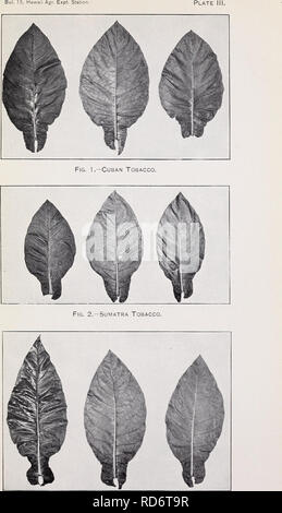 . Cultivation of tobacco in Hawaii. Tobacco Hawaii. Fig. 3.—Sumatra Tobacco, Belgian Type.. Please note that these images are extracted from scanned page images that may have been digitally enhanced for readability - coloration and appearance of these illustrations may not perfectly resemble the original work.. Smith, Jared G. (Jared Gage), 1866-1957; Blacow, Charles R. Washington, D. C. : Government Printing Office - Stock Photo