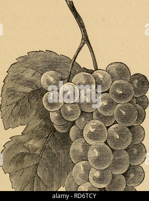 . The cultivation of the native grape. Viticulture; Wine and wine making. V ,' .. Please note that these images are extracted from scanned page images that may have been digitally enhanced for readability - coloration and appearance of these illustrations may not perfectly resemble the original work.. Husmann, George, 1827-1902. [from old catalog]. New York, G. E. & F. W. Woodward - Stock Photo