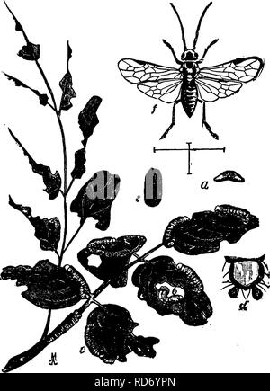 . A manual for the study of insects. Insects. H YMEN OP TEKA. 6ll is composed of two segments (Fig. 737, ff), while in the Stinging Hymenoptera it consists of a single segment. There may be exceptions to this characterization among the minute members of the Terebrantia ; but the beginning student will hardly undertake the study of these. Family Tenthredinid^ (Ten-thre-din'i-dae;. T/ie Saw-flies, In this family the head and thorax are wide; the base of the abdomen is not slender, as in most Hymenoptera, but broadly joined to the thorax (Fig. 743, yj ; and the a'bdomen. Fig. 743.— The Locust saw - Stock Photo