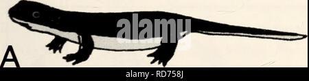 . Current herpetology. Reptiles; Herpetology. Current Herpetology 22(1): 37-42, June 2003 © 2003 by The Herpetological Society of Japan Red Variants of the Japanese Newt Cynops pyrrhogaster (Amphibia: Salamandridae): Review of Records and Captive Observations on the Heredity of Coloration KUMIMATSUI^*, JUNSUKE MARUNOUCHI^, and Masahisa NAKAMURA^ ^ Department of Biology, School of Education, Waseda University, 1-6-1 Nishi-waseda, Shinjyuku-ku, Tokyo, 169-8050, JAPAN ^ Kanagawa Prefectural Museum of Natural History, 499Iriuda, Odawara, 250-0031, JAPAN Abstract: We surveyed information regarding  - Stock Photo