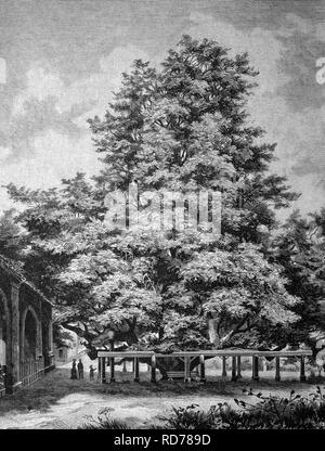 Giant lime tree at the cemetery in Annaberg, historical illustration, circa 1886 - Stock Photo