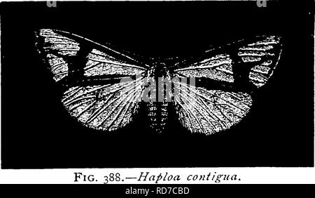 . A manual for the study of insects. Insects. LEPIDOPTERA. 319. —Haploa contigiia.. Please note that these images are extracted from scanned page images that may have been digitally enhanced for readability - coloration and appearance of these illustrations may not perfectly resemble the original work.. Comstock, John Henry, 1849-1931; Comstock, Anna Botsford, 1854-1930. joint author. Ithaca, N. Y. , Comstock Pub. Co. - Stock Photo