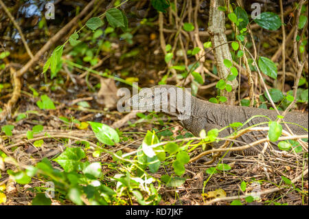Portrait of a large Bengal monitor lizard (Varanus bengalensis), Yala National Park, Sri Lanka. Close up head and neck markings with jungle background - Stock Photo