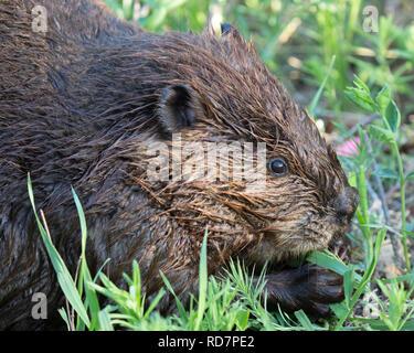 Beaver (Castor canadensis) feeding on herbaceous vegetation - Stock Photo