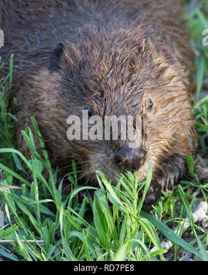Beaver (Castor canadensis) feeding on vegetation - Stock Photo