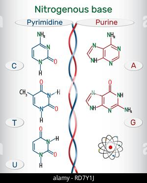 Chemical structural formulas of purine and pyrimidine nitrogenous bases: adenine (A, Ade), guanine (G, Gua) , thymine (T, Thy), uracil (U), cytosine ( - Stock Photo