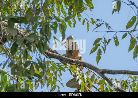 Male Iguana in a Rain forest Tree in Tortuguero National Park in Costa Rica - Stock Photo