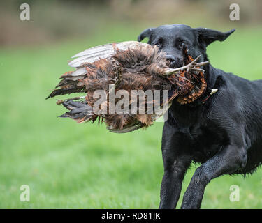 labrador retrieving a shot pheasant - Stock Photo