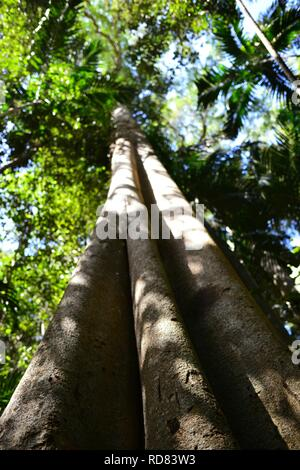 Looking up the trunk of a giant fig tree, Yuibera trail at Cape Hillsborough National Park, Queensland, Australia - Stock Photo