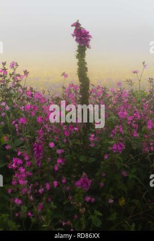 Foxgloves (Digitalis purpurea ) and Red Campion (Silene dioica) in the mist . Background , Corn Marigold . - Stock Photo