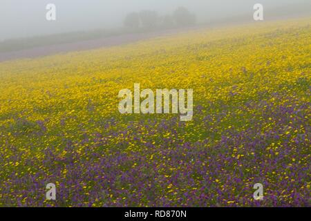 Corn Marigold ( Chrysanthemum segetum),and Red Campion   (Silene dioica) ) in mist, rare corn field wild plant ,typical of arable agriculture , planted and encouraged by the National Trust, attractiveto invertebrates,particularly butterflies. - Stock Photo