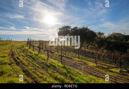 Winter sun over vineyard in Central California United States - Stock Photo