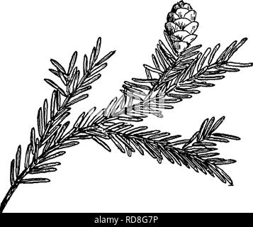 . The book of forestry. Forests and forestry. Fig. 13. Fig. 14* Fig. 13.—^Twig and stalked cone of Eastern hemlock. Fig. 14.—^Twig and sessile cone of Western hemlock. 193. Please note that these images are extracted from scanned page images that may have been digitally enhanced for readability - coloration and appearance of these illustrations may not perfectly resemble the original work.. Moon, Frederick Franklin, 1880-1929. New York [etc. ] D. Appleton and Company - Stock Photo
