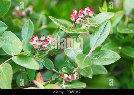 Wild Blueberries on bush in Canada Stock Photo: 223596902