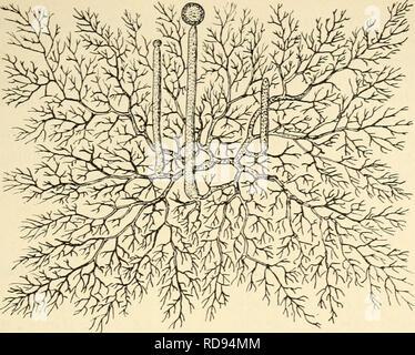 """. Einfhrung in die Agrikulturmykolgie. Soil microbiology; Soil fungi. Der Kreislauf des Stickstoffs. 31. Fig. 20. Mucor Macedo L., aus einer Spore hervorgegangenes, einzelliges Mycel mit drei Sporangientiägern in verschiedenen Alterszuständen (schwach vergr.). Nach Kny. Aus F. von Tavel """"Vergleichende Morphologie der Pilze"""".. Please note that these images are extracted from scanned page images that may have been digitally enhanced for readability - coloration and appearance of these illustrations may not perfectly resemble the original work.. Kossowicz, Alexander, 1874-1917. Berlin : Gebr - Stock Photo"""