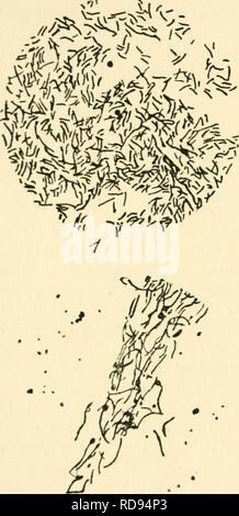 . Einfhrung in die Agrikulturmykolgie. Soil microbiology; Soil fungi. 4 Der Kreislauf d. Elemente unter Mitwirkung v. Mikroorganismen. Von Bedeutung erscheint die Zersetzung der Zellulose, die einen wesentlichen Bestandteil des Pflanzenkörpers bildet. Die durch Bacillus fermentationis cellulosae (Fig. 1) hervorgerufene Wasserstoff- gärung und durch Bac. methanigenes (Fig. 1) verursachte Methan- _—>ST^.. Please note that these images are extracted from scanned page images that may have been digitally enhanced for readability - coloration and appearance of these illustrations may not perfectl - Stock Photo