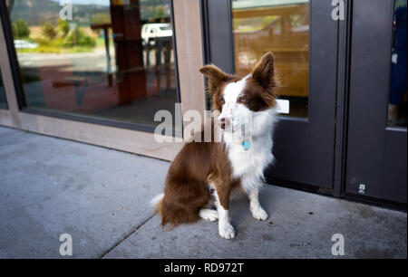 A long-haired with brown and white spots border-collie dog with protruding ears  lonely sits at the door of a cafe in anticipation of its owner - Stock Photo