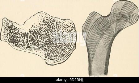 . Einführung in die experimentelle Entwickelungsgeschichte (Entwickelungsmechanik). Morphology (Animals); Embryology. 146 XV. Kapitel. Weitere Beeinflussungen der Teile. Die funktionelle Union einzeichnet, so sind diese in schlagender Weise den Linien gleich, die die Natur selbst als Baumeisterin im Innern des Knochens hervorgebracht hat (Fig. 113). Man kann zwei Züge von Knochen- bälkchen unterscheiden, einen von der Trochanterseite und einen von der Adduktorenseite ausgehenden. Beide stehen senkrecht zur Ober- fläche des Knochens, dessen kompakte sich hier entsprechend auf- löst, und beide k - Stock Photo