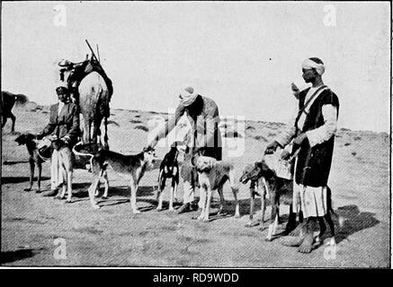""". The new book of the dog; a comprehensive natural history of British dogs and their foreign relatives, with chapters on law, breeding, kennel management, and veterinary treatment. Dogs. ORIENTAL GREYHOUNDS. 477 are endowed with sagacity and great powers of endurance. So fully qualified for their work, no wonder they are preserved with so much care, and the Arabs may well say of them as of their treasured horses, """"Are not these the inheritance of our fathers, and shall not we to our sons bequeath them ? """" The natives give great attention to the rearing of their Slughi. They bring the - Stock Photo"""