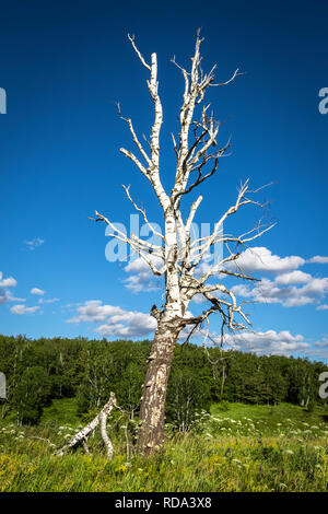 Old dry birch in a green field. - Stock Photo