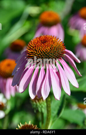 eastern purple coneflower, hedgehog coneflower, purple coneflower, bíbor kasvirág, Echinacea purpurea, Purpur-Sonnenhut, Roter Scheinsonnenhut - Stock Photo