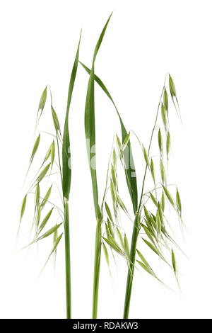 Green wild oats isolated on white background - Stock Photo